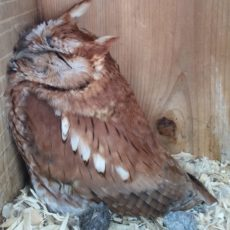 Eastern Screech Owl sleeping the day away in a wood duck box at Cindy Owsley's habitat project. Photo by CO.