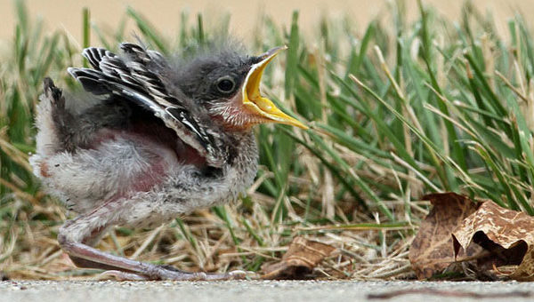 Baby northern mockingbird