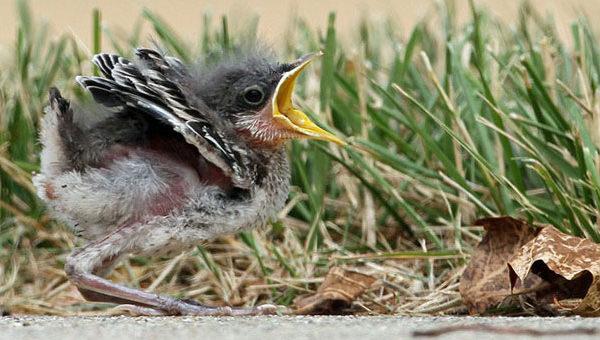 Baby northern mockingbird